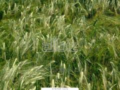 Triticale seeds grade Sontsedar Harkovsky