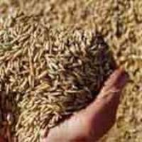 Зерно фуражное зерновые культуры в