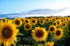 Гібрид соняшника Піонер PR64a89 (посівний матеріал)