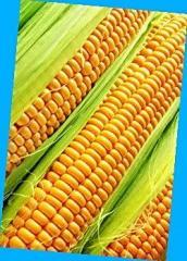 Кукуруза Афина