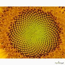 Sunflower seeds Rekold of an ekstr (under