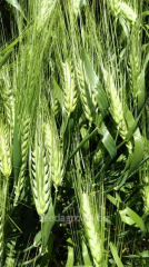 DALLAS barley seeds (a class — elite).