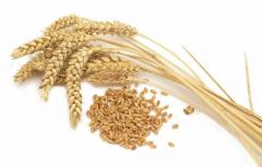 Seeds of the Canadian wheat Lennox of a class of