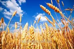 The Canadian wheat Lennox (a class — elite).