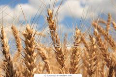 Зерновые культуры  Зерно, зерновые  Зерно