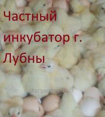 Broylersky chickens of KOBB 500