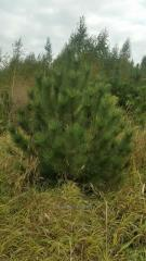 Pine the Crimean New Year's live