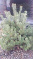 Pine the Crimean fluffy