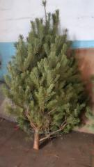 Pine natural Crimean New Year's