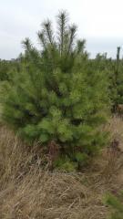 Pine natural