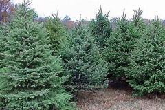 Fir-trees live
