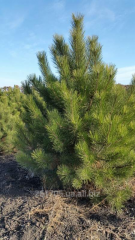 Pine natural New Year's