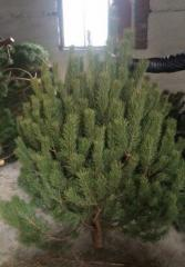 Pine live New Year's
