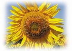 Семена подсолнечника Евралис Биба