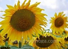Насіння соняшнику Євраліс Бамбіна