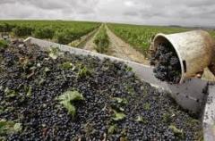 Виноград столовых сортов: Галбена, Кеша, Тимур,