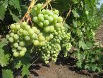 Виноград столовых сортов Галбена продажа крупным и