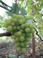 Виноград столовых сортов Кеша продажа крупным и