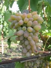 Виноград столовых сортов Тимур продажа крупным и