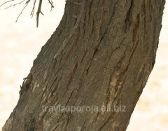 Acacia, bark