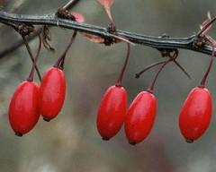 Barberry, fruits