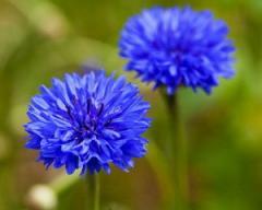Cornflower, color