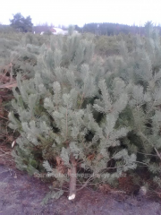 Pine the Fir-tree live natural fresh wholesale