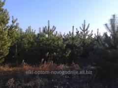 I will sell a pine New Year's live natural