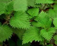 Nettle, leaf