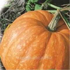 Pumpkin seeds Hundred-pound