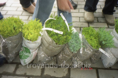 Seedling of coniferous plants