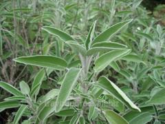 The sage is medicinal, a leaf