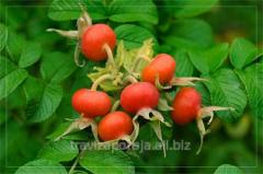 Dogrose, fruits