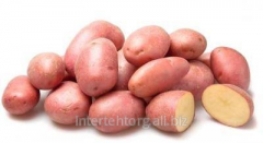 Potatoes pink (Red Scarlet's grade,