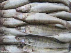 Fresh-frozen fish Pike perch size 600-800g