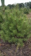 New Year's fir-trees