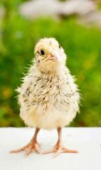 Daily quails of breeds: Pharaohs, Estonian,
