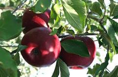 Саженцы яблонь Либерти