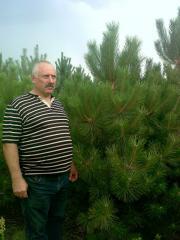 Saplings of the Pine Crimean