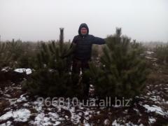 Новогодняя сосна,елка Харьков