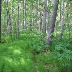 Саженцы лесных деревьев