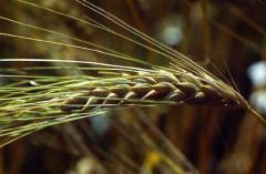 Ячмень зерновые культуры соя кукуруза продам в