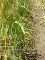 Seeds of barley of summer Ksanadu, 2nd
