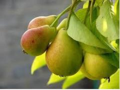 Dichka pear seedlings. Saplings of fruit and berry