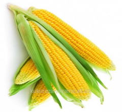 Corn hybrid Monica 350