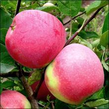 Саженцы яблонь, сорт яблок Слава Победителям, осенний сорт
