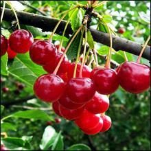 Саженцы вишни, Вишня Альфа