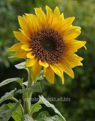 Accept (the Original Ukraine-Serbia) sunflower
