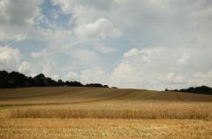Wheat. Production of grain and quality olive