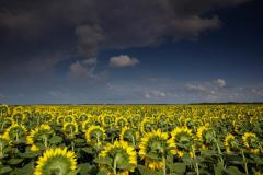 Sunflower. Production of grain and quality olive